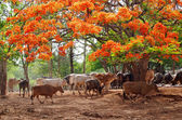 Cattle in Pattaya zoo — Stock Photo