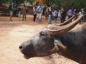 Thai buffalo in the Pattaya zoo — Stock Photo