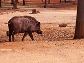 Wild boar in the Pattaya zoo — Stock Photo