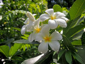 Plumeria flowers in Pattaya zoo — Stock fotografie