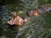 Hippos in Pattaya zoo — Stock Photo