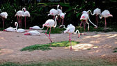 Flamingos in Pattaya Zoo — Stock Photo