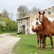 Two brown horses grazing in front of an old watermill — Stock Photo