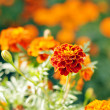 Marigolds in the flowerbeds outdoors — Stock Photo