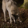 Stock Photo: Grey wolf in forest