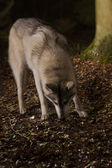 Grey wolf in forest — Stock Photo