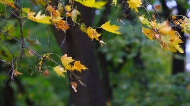 Yellow maple leaves trembling on the wind — Stock Video