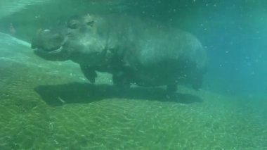 Hippo swimming underwater on sunny day, slow motion — Stock Video #12645055