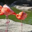 Stock Video: Pink flamingo cleaning feathers in zoo