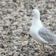 Wondering seagull on rocky stones beach — Stock Video