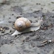 Snail crawling on the ground, time lapse — Stock Video #13171961
