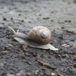 Snail crawling on the ground, time lapse — Stock Video
