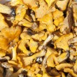 Yellow chanterelle mushrooms background — Stock Photo