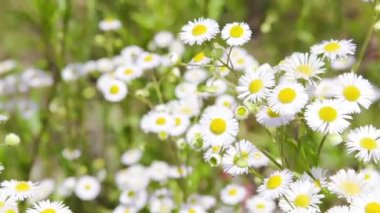 Camomile field with camera motion defocusing — Stock Video