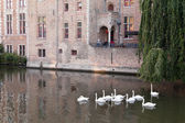Swans swimming in the channel in Bruges — Stock Photo