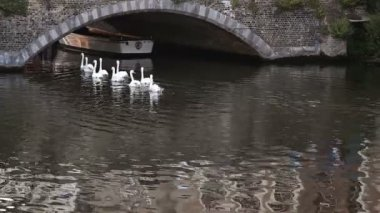 Swans swimming in the channel in Bruges, Belgium — Stock Video