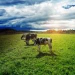 Rain goes to pasture — Stock Photo