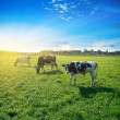 Stock Photo: Morning pasture