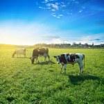 Morning pasture — Stock Photo