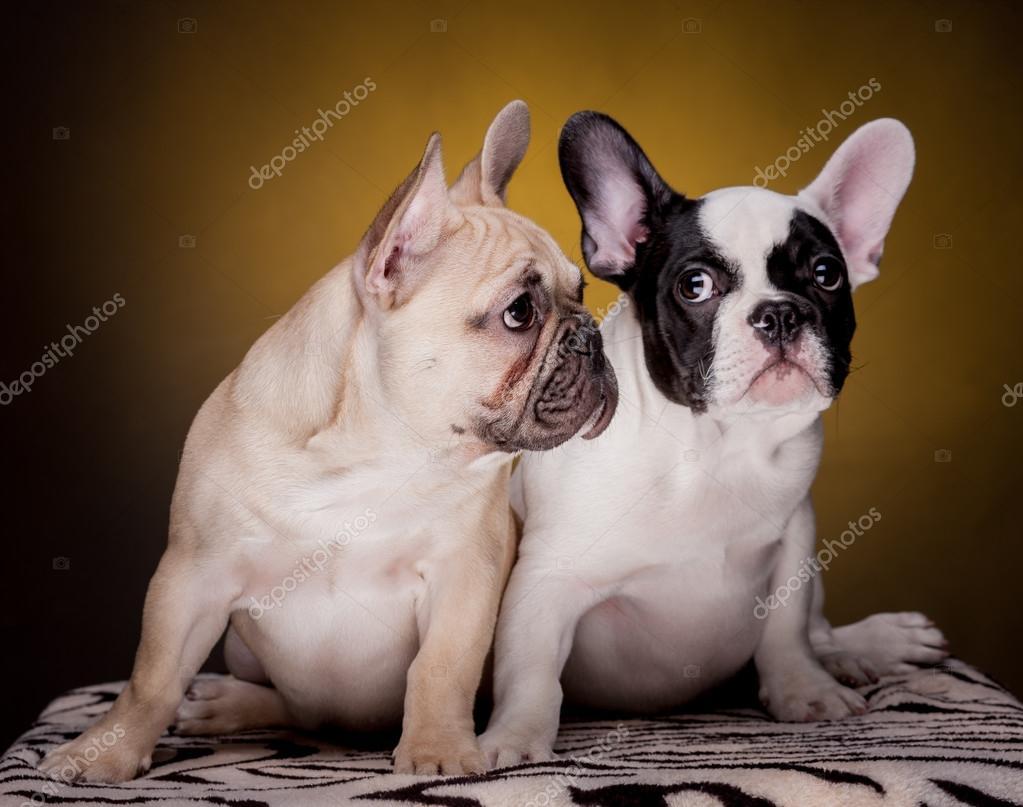 两个可爱的法国斗牛犬幼犬