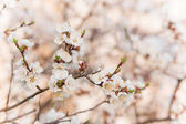 Branches of trees with white blossoms — Stock Photo