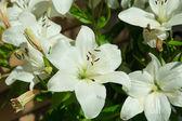 White lily in garden — Stock Photo