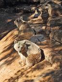 Il grande orso marrone in posa per i visitatori — Foto Stock