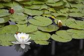 Zambak çekici gölet — Stok fotoğraf