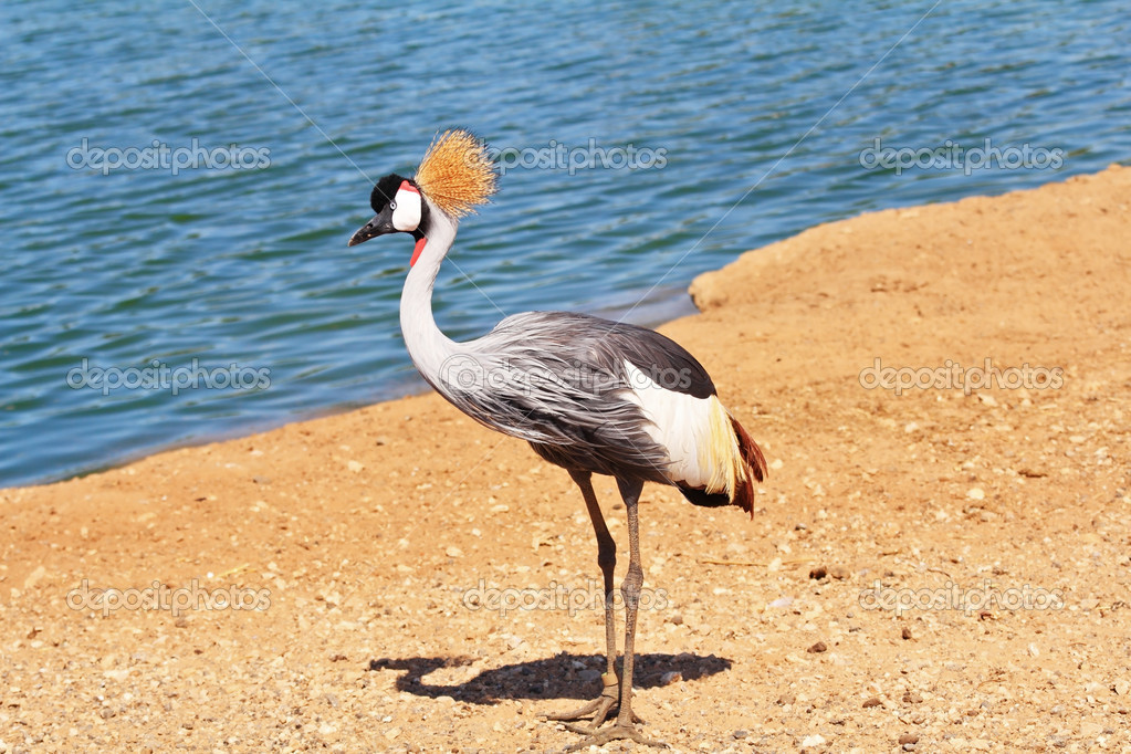 Park safari in Tel Aviv. Elegant and graceful bird with magnificent plumage crest on the head. He lives near bodies of water  Stock Photo #14617027