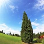 Lone Cypress — Stock Photo