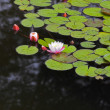 Stock Photo: Pond with blossoming white lily in spring