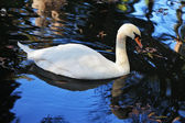Cisne blanco nada — Foto de Stock