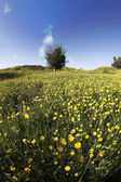 Blossoming field with camomiles and bush — Stock Photo