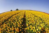 黄色とオレンジ色のキンポウゲの壮大なフィールド — ストック写真
