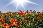 庭の黄色とオレンジ色のユリの花 — ストック写真