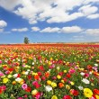 Stock Photo: Field, blooming colorful garden buttercups