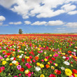 The field, blooming colorful garden buttercups — Stockfoto #18700423