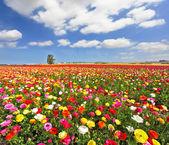 El campo, ranúnculos coloridos jardín en flor — Foto de Stock