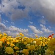 The spring field of buttercups — Stock Photo
