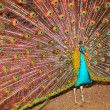 Stock Photo: Peacock who has opened tail