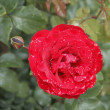 Stock Photo: Brightly red garden flower