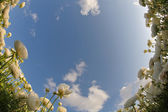 The dark blue sky and clouds above a field white flowers — Stock Photo