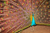 The peacock who has opened a tail — Stock Photo