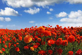 The field of the blossoming red-orange flowers — Stock Photo