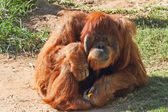 Huge hairy orangutan resting on the grass — Stock Photo
