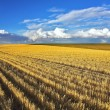 Wheaten fields after harvesting — Stock Photo