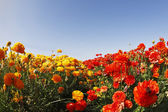 """Yellow and red buttercups , photographed by an objective """" the F — Stock Photo"""