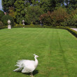 Regal white peacock in luxury park — Stok fotoğraf