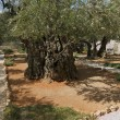 Thousand-year olive trees — Foto de Stock