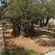 Thousand-year olive trees - Stock Photo